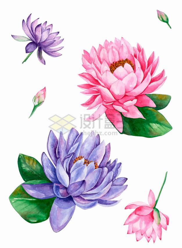 紫色粉色睡莲莲花水彩插画png图片素材 生物自然-第1张