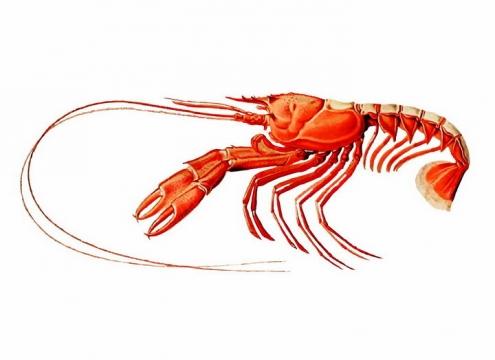 一只红色大虾侧视图美味海鲜海产品png图片免抠矢量素材