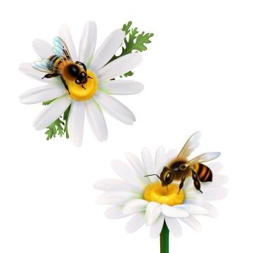 2款白色花朵上正在采蜜的小蜜蜂图片免抠素材
