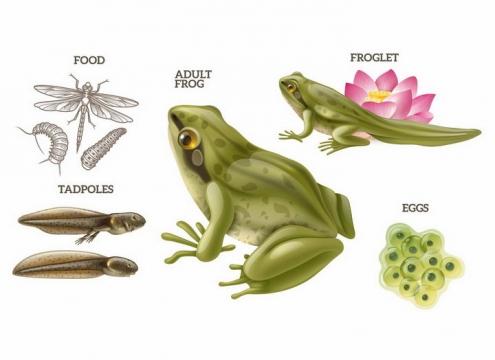 青蛙从卵开始变成蝌蚪它的食物是各种虫子科普配图png图片免抠矢量素材