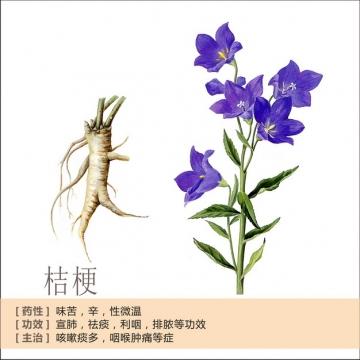 桔梗花和根部中草药介绍413393png免抠图片素材