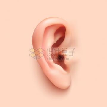 逼真的耳朵人体器官组织五官png图片素材