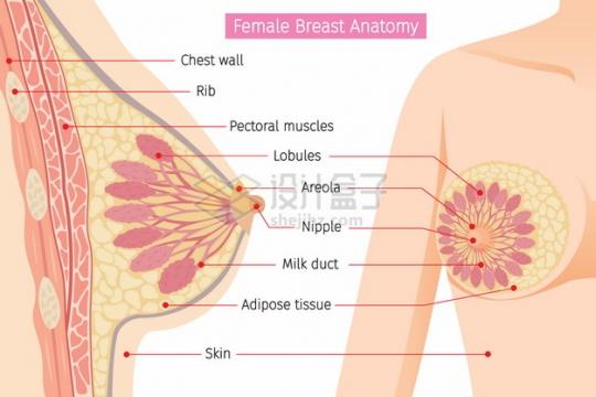 女性乳房解剖图430971png图片素材
