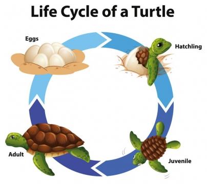 海龟的一生从破壳出生到成长中学生物教学图片免抠矢量素材