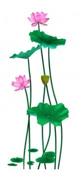 茎秆比较高的荷叶荷花和莲蓬图片免抠素材