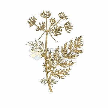 枯黄色的香芹籽中草药草本植物彩绘插画png图片免抠矢量素材