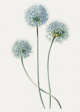 彩绘风格葱花植物葱开的花朵图片免抠矢量素材