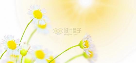 白色雏菊花朵和黄色的阳光png图片素材