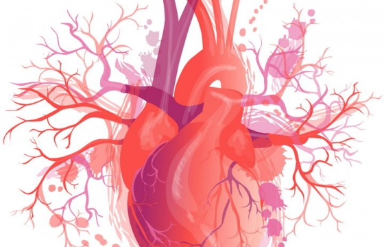 精细的心脏人体组织器官图片免抠素材
