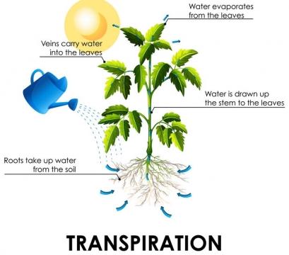 植物的光合作用和蒸腾作用示意图图片免抠矢量图素材