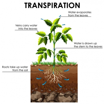 植物从土壤中吸收营养元素和水分蒸腾作用示意图图片免抠矢量图素材
