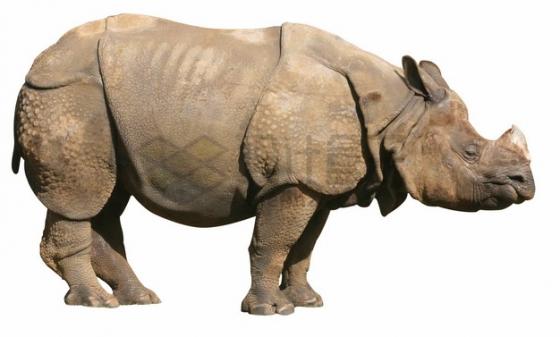 站立不动的非洲犀牛png图片素材