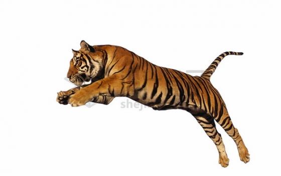 跳跃的老虎孟加拉虎png图片素材