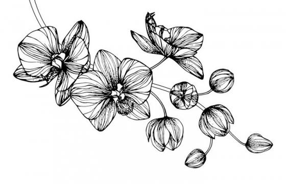 黑色手绘线条风格枝头上的蝴蝶兰花朵花卉图片免抠矢量素材