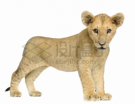 可爱的小狮子非洲狮png图片素材