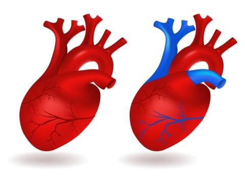 人体器官心脏动脉静脉血管示意图图片免抠素材