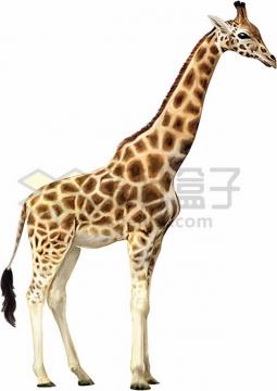 非洲长颈鹿png图片素材