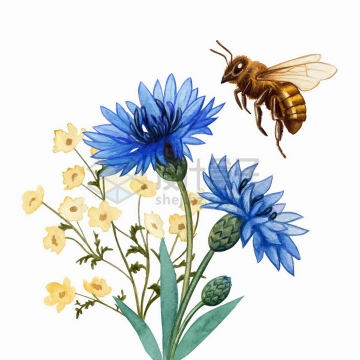 采蜜的小蜜蜂和紫色荷兰菊花朵花卉水彩插画png图片免抠矢量素材