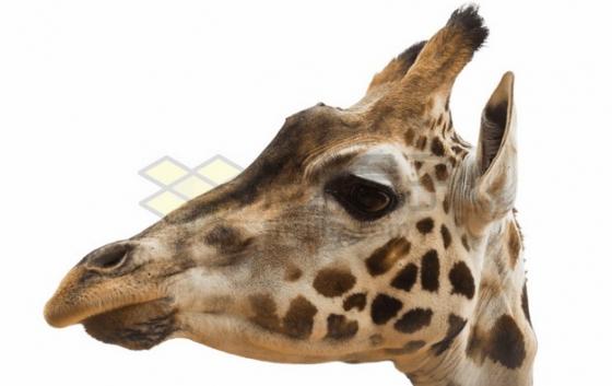 长颈鹿头部特写png图片素材