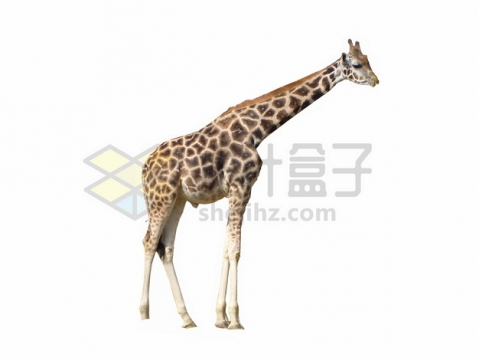 吃树叶的长颈鹿png图片素材