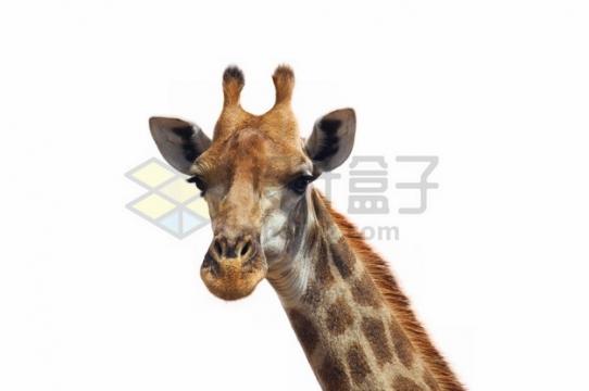 呆萌的长颈鹿头部特写png图片素材