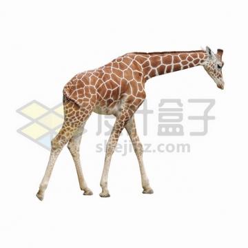 低头走路的长颈鹿png图片素材