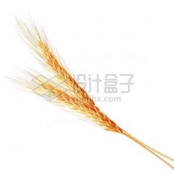 两根小麦麦穗622380png图片素材
