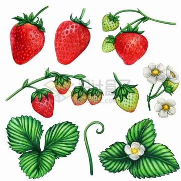 各种成熟和不成熟的草莓美味水果和花朵叶子水彩插画png图片免抠矢量素材