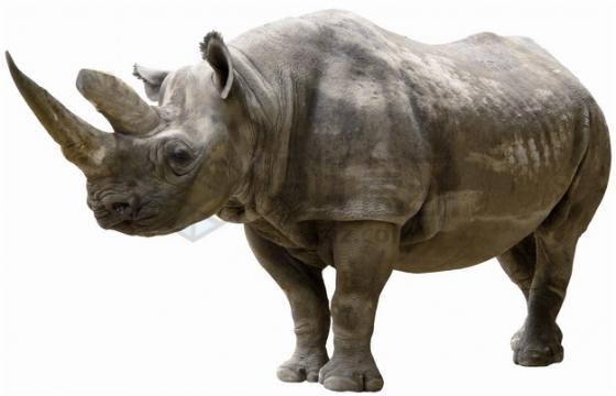 站立不动的犀牛png图片素材