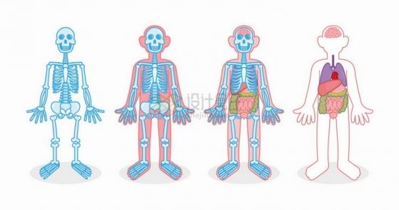 卡通人体骨架内脏解剖结构图png图片免抠矢量素材