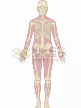人体骨骼骨架结构图模型png图片免抠矢量素材