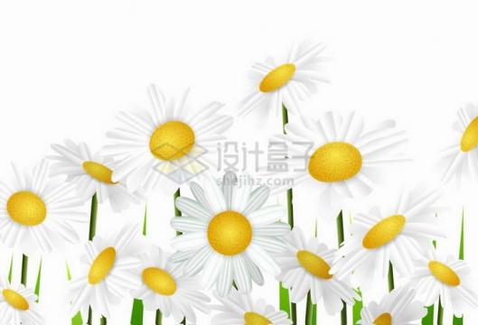 白色雏菊春天盛开的花朵png图片免抠矢量素材