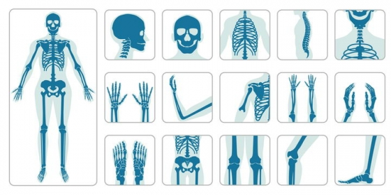 不同器官人体骨骼结构图图片免抠素材