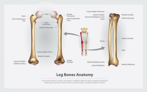 大腿骨人体骨骼结构图图片免抠素材