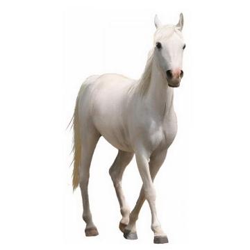 一匹白色的骏马图片png免抠素材