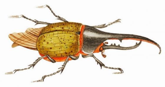 黄色长戟大兜虫甲壳虫昆虫png图片免抠矢量素材