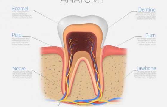 牙齿神经系统与血管人体组织结构解剖示意图图片免抠素材