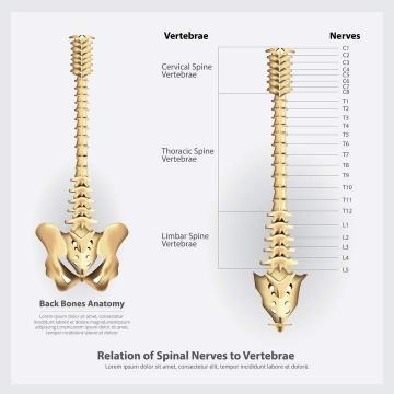 人体骨骼脊椎脊柱分解示意图免扣图片素材