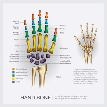 人体骨骼器官手掌骨头分解示意图免扣图片素材