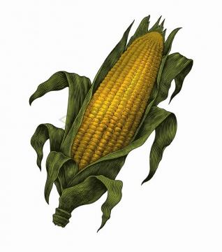 剥开的玉米美味食物彩色手绘素描插画png图片免抠矢量素材