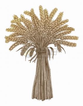 一捆小麦穗彩色手绘素描插画png图片免抠矢量素材