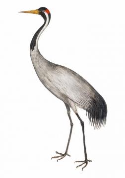 彩绘风格站立的仙鹤丹顶鹤png图片免抠矢量素材