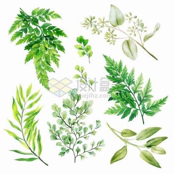 铁线蕨等蕨类植物叶子水彩插画png图片素材