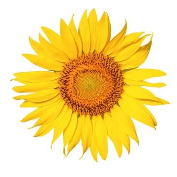 高清向日葵太阳花鲜花花朵花卉图片设计模板素材