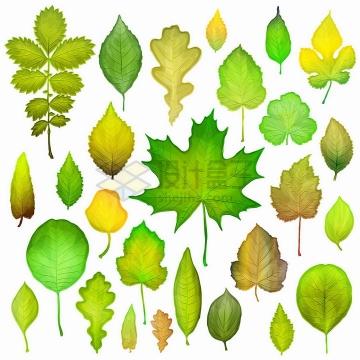 各种各样的树叶绿叶枫叶等png图片免抠矢量素材