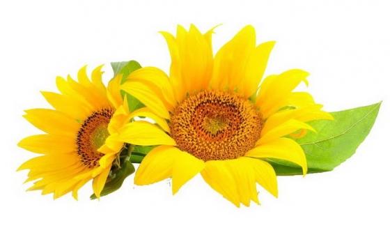 两朵带叶子的向日葵图片免抠素材