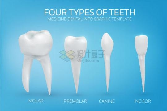 臼齿犬齿门牙等四种不同形状的牙齿类型png图片免抠矢量素材