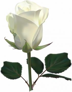 枝头上的白玫瑰花鲜花带叶子769378png图片素材