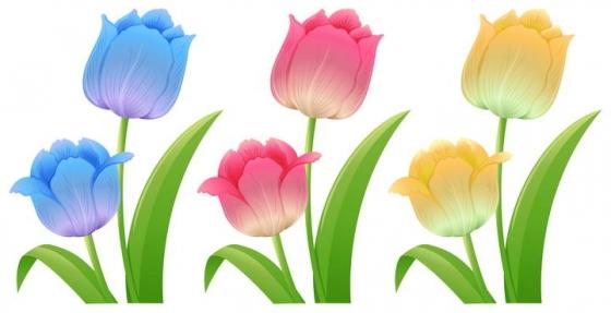 三种颜色的郁金香花朵图片免抠矢量图素材
