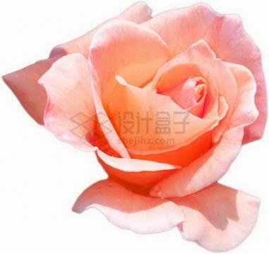 粉色玫瑰花蝴蝶夫人png图片素材